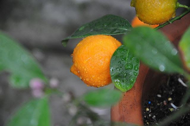 The lemon-tangerine or 'rangpur'