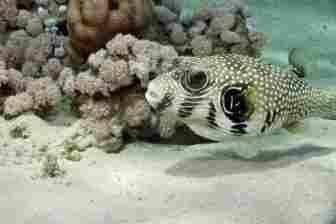 Puffer fish: