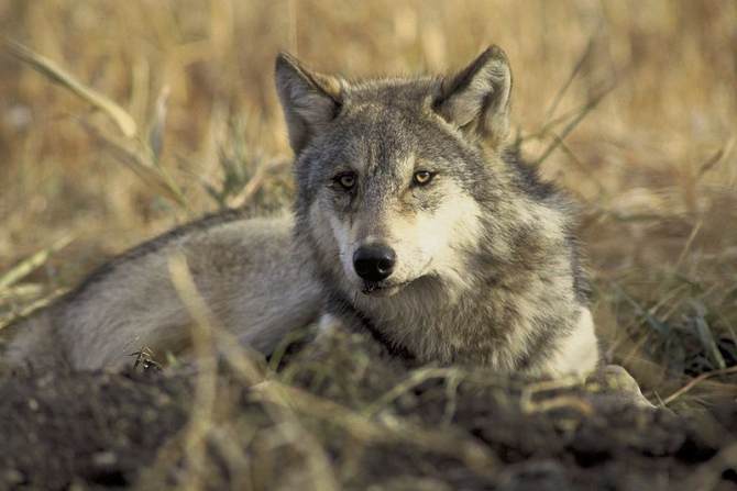 GRAY WOLF / TURKEY