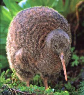KIWI / NOVA ZELÂNDIA