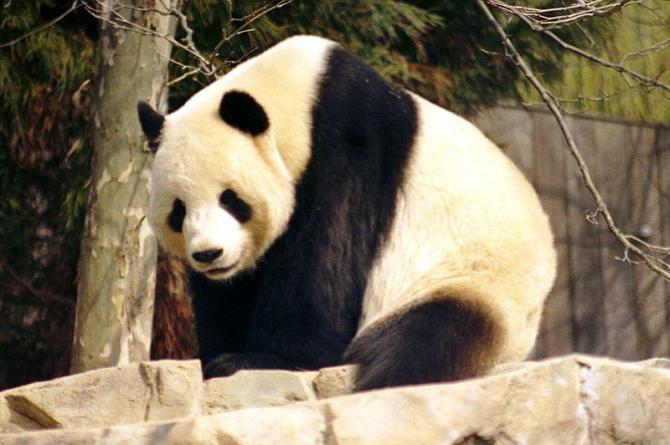 URSO PANDA / CHINA