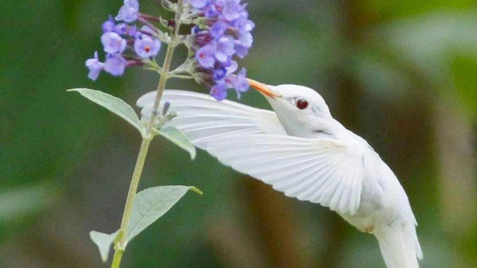 brummande fågel