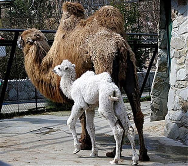 Camelo bebê