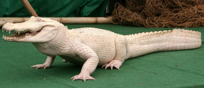 cocodril