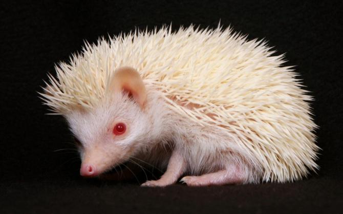 Dwarf hedgehog