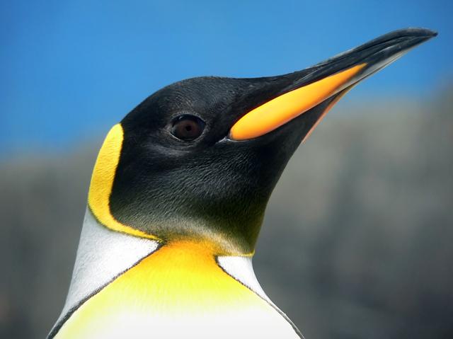 Dependendo da espécie, um pinguim selvagem pode viver de 15 a 20 anos