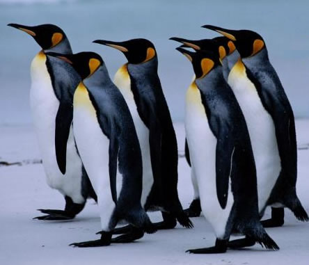 O pinguim-imperador é a maior das espécies de pinguins