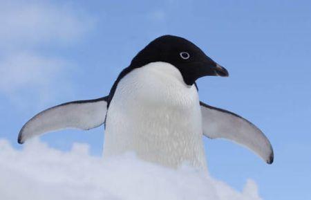Pinguins têm sentidos altamente desenvolvidos de audição, olfato e principalmente visão