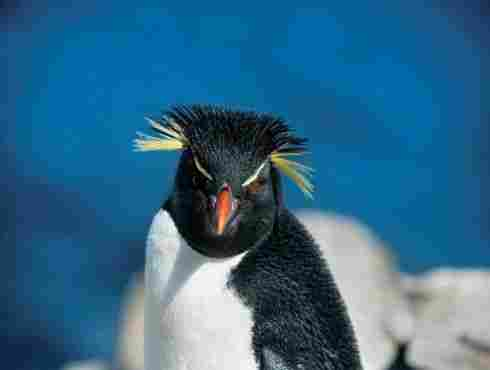 Some species of penguins have yellow feathers