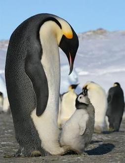The male penguins are in charge of brooding the baby while the mother goes out to look for food