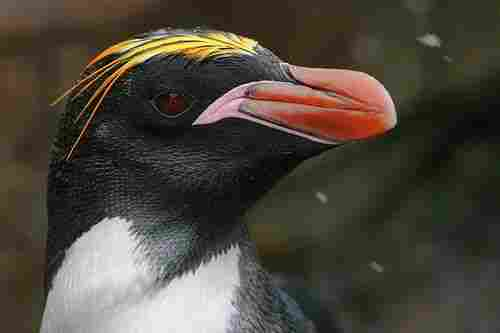 There are 18 species of penguins in the world