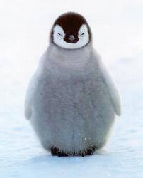 """When a penguin is born it has a plumage called """"down"""""""