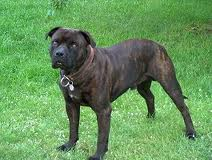 Mallorquinischer Beutehund