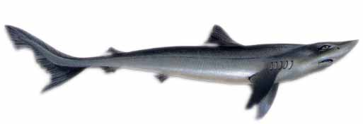Собачья акула