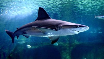 Cours de requin