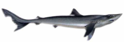 Dog shark