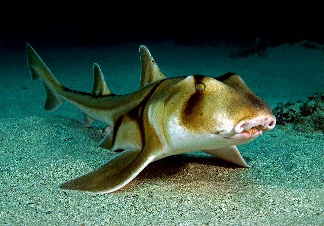 Requin de port jackson