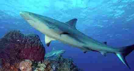 Requin des récifs des Caraïbes