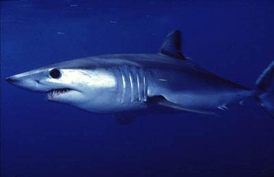 Requin mako