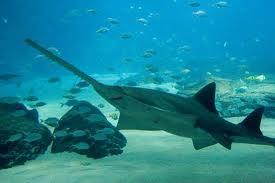Requin Sierra des Bahamasa