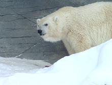 Дебби, Белый Медведь