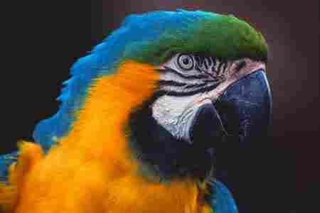 Charlie, Macaw