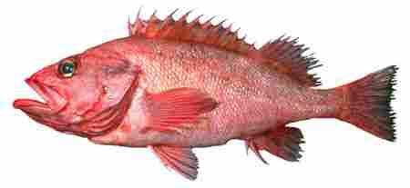 Fish, Species Sebastes Aleutianus
