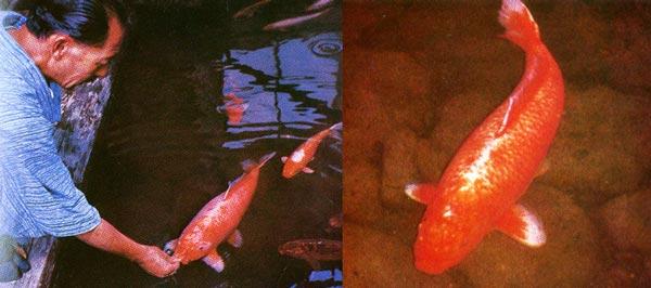 Hanako, A Koi Fish