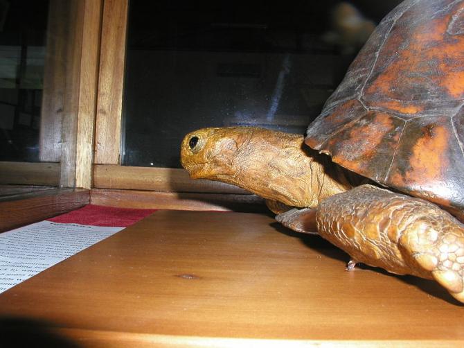 Tu'i Malila, Turtle