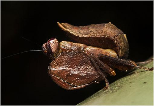 Сушеный лист богомола (Acanthops falcataria)