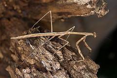 Австралийский богомол (Archimantis latistyla)