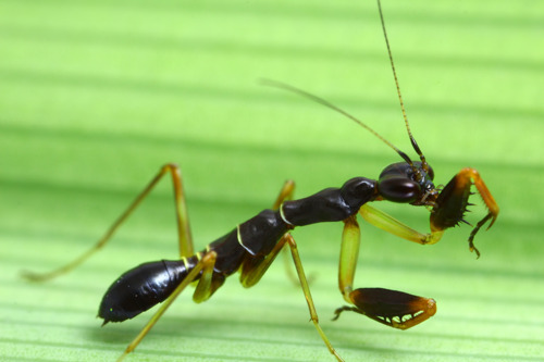 Asian ant mantis (Odontomantis planiceps)
