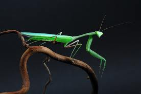 Asian giant mantis (Hierodula membrane)