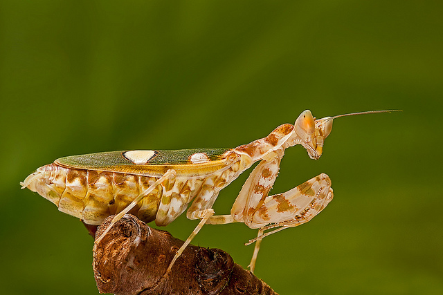 Flower mantis of India (Creobroter pictipennis)