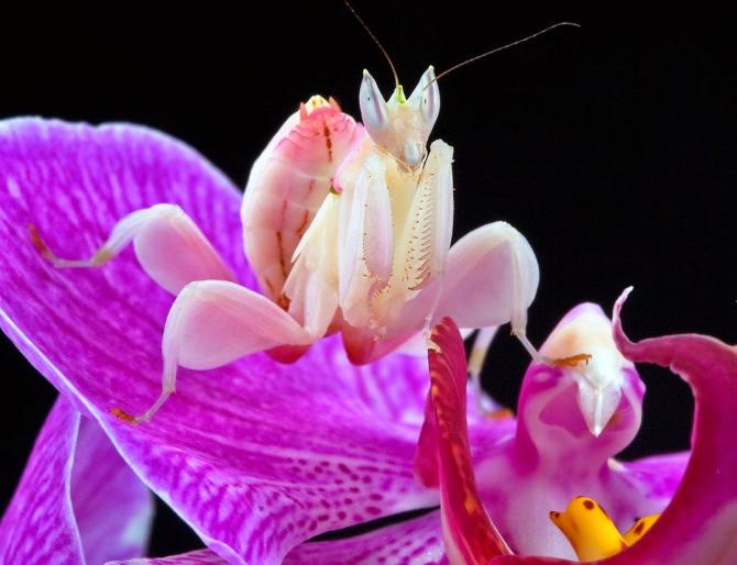 Орхидея богомола (Hymenopus coronatus)