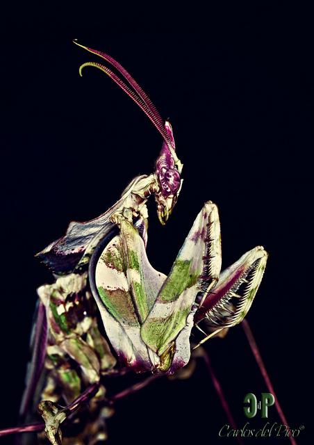 Дьявольский богомол (Idolomantis diabolica)