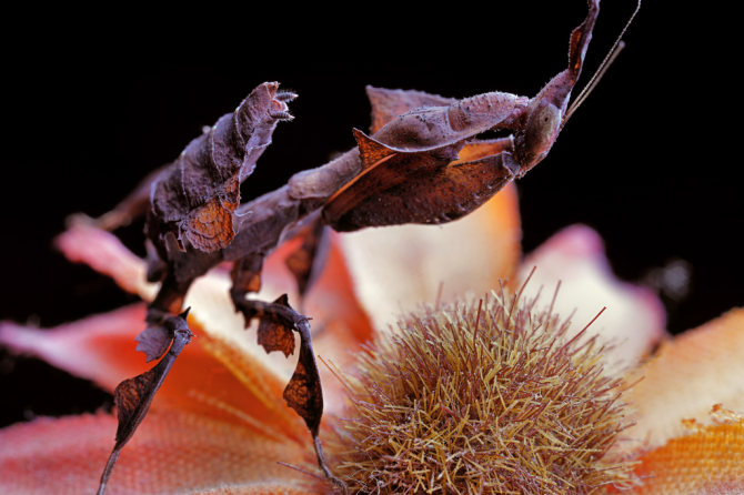 Призрачный богомол (Phyllocran Paradox)
