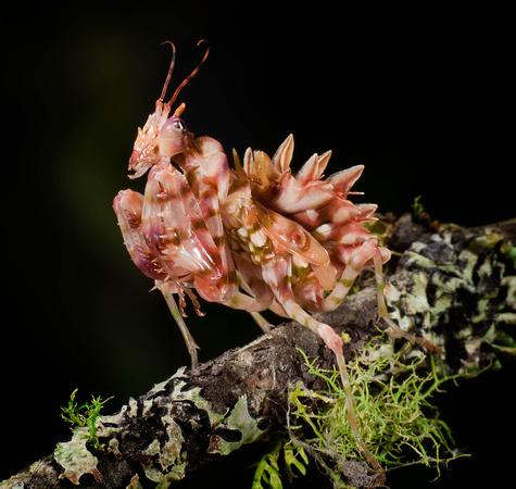 Колючий цветок богомола (Pseudocreobotra wahlbergii)
