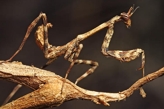 Богомол единорог (Pseudovates arizonae)