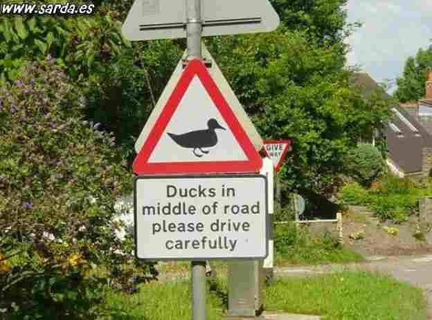 Dangerous ducks?