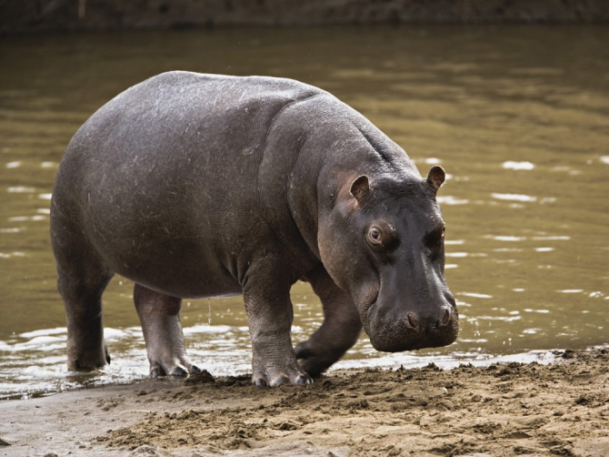 It is the animal that causes more deaths in Africa