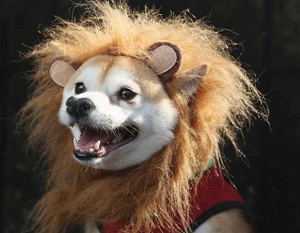 Chien de lion