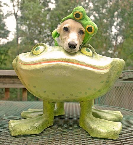 Chien grenouille