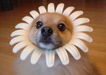 Perro margarita