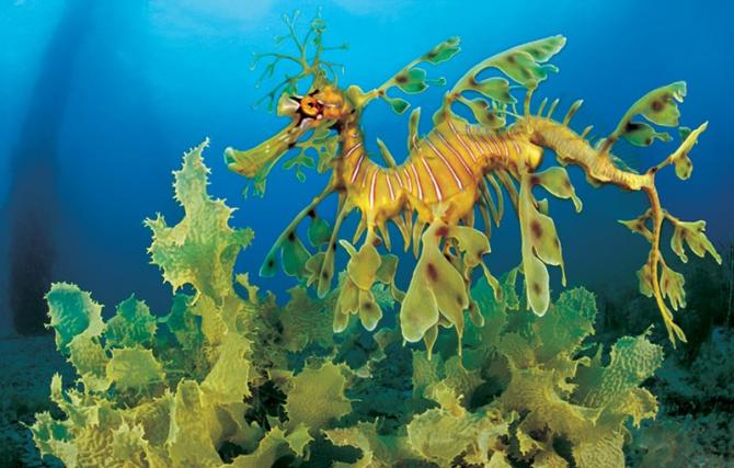 Drac de mar