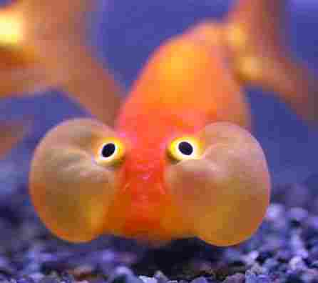 Goldfish bubble eyes
