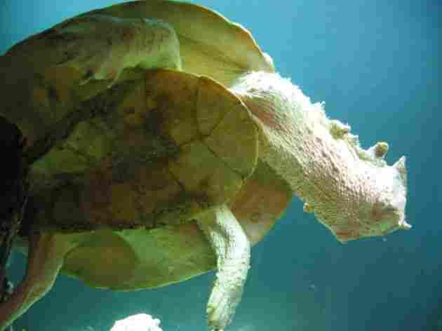 The Matamata turtle