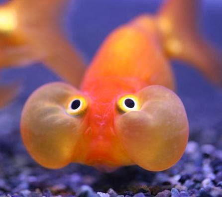 Yeux de poisson rouge