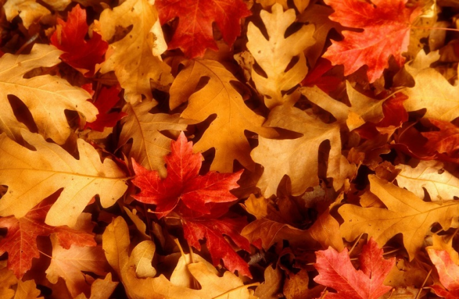 秋葉 Akiha (feuille d'automne)