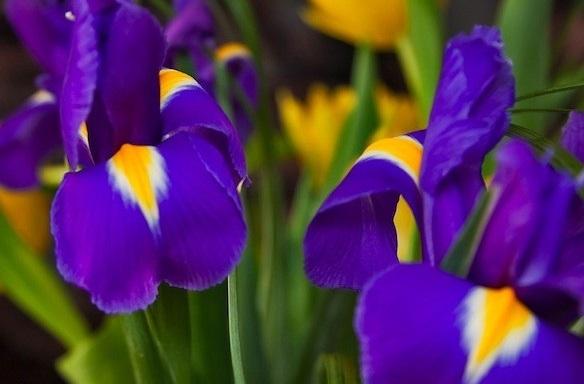 Ame Ayame (Iris)